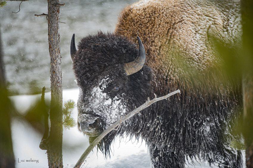 Bison, d' Amérique, Yellowstone, Wyoming, janvier 2020