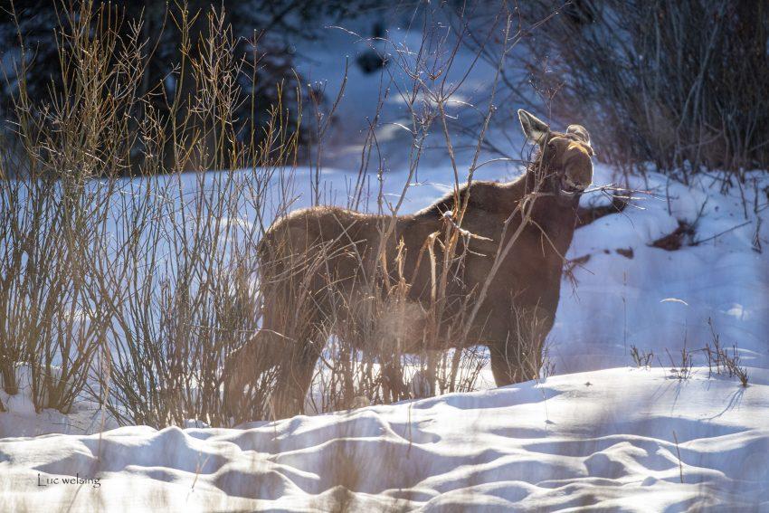 Elan sans ses bois, Yellowstone, Wyoming, janvier 2020