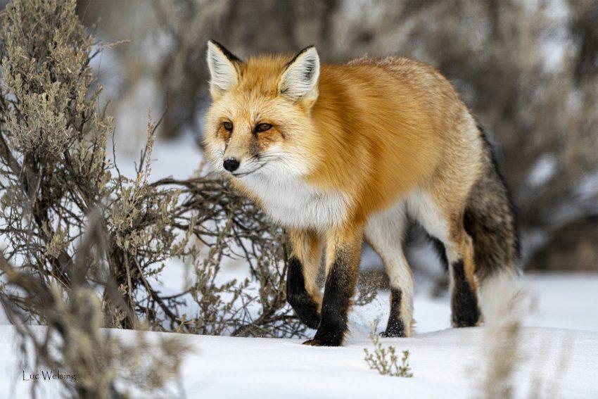 Renard roux alias fox alias goupil alias vulpes vulpes, Yellowstone, Wyoming, janvier 2020