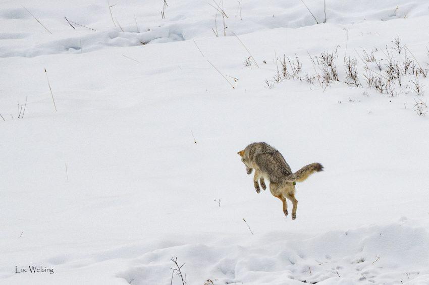 Mulottage spectaculaire du coyote, à peu près identique à celui du renard, Yellowstone, Wyoming, janvier 2020