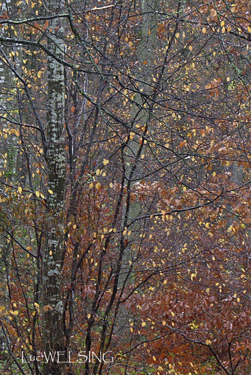 Il pleut de l'or en forêt de Breteuil,  novembre 2008