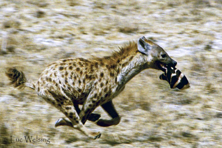 Hyène joueuse, tenant en son bec un bout de zèbre, aussi joueuse que la hyène qui la précède et fait semblant de s'enfuir. tout cela se terminera au fond d'une mare de boue. N'goron'goro, Tanzanie
