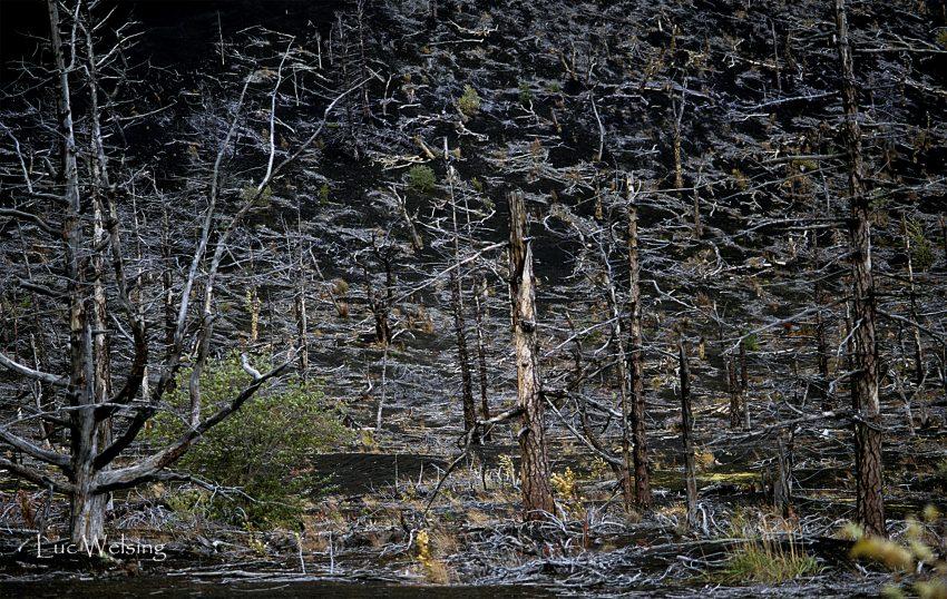 La forêt morte, Kamtchatka, Russie, 2003