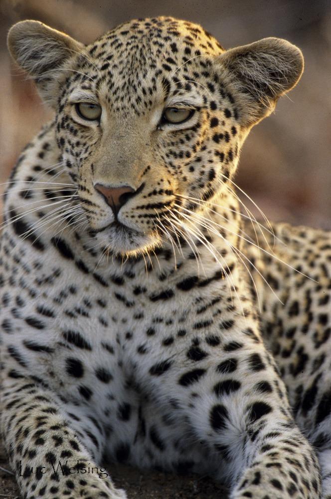 Jeune femelle léopard dans le soleil couchant, Afrique du Sud
