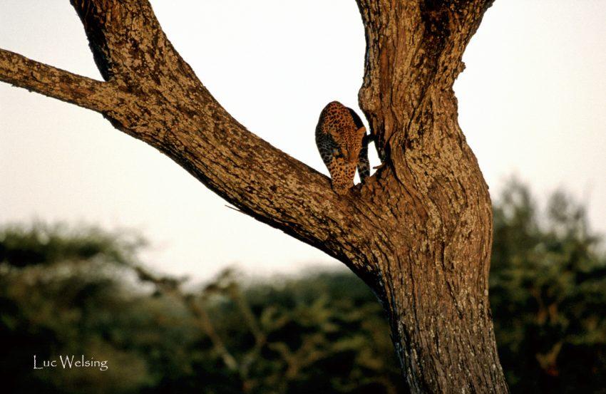 Léopard, panthera pardus,Tanzanie