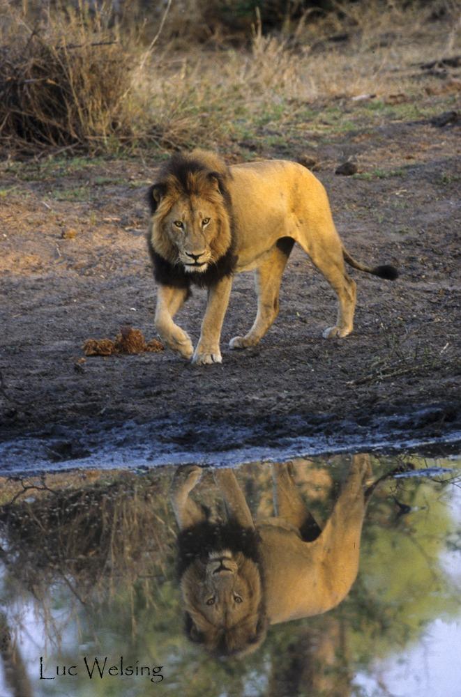 Panthera leo, Afrique du Sud