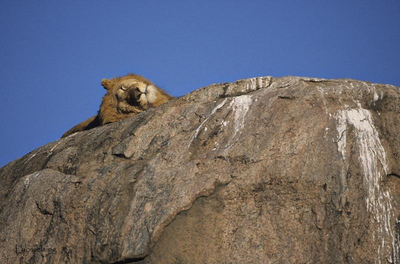 Panthera leo à la sieste, c'est souvent...