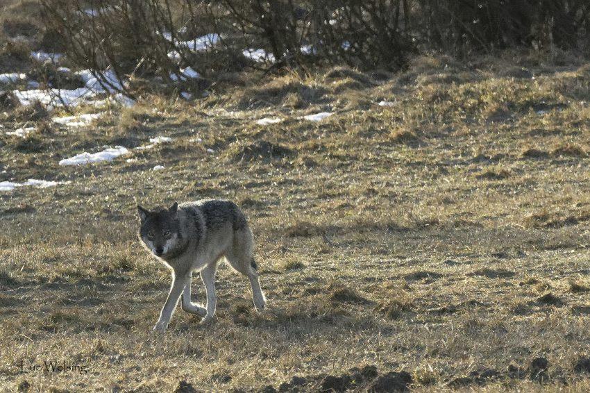 Canis lupus, en personne, maigrichon en cette fin d'hiver Bielorusse.