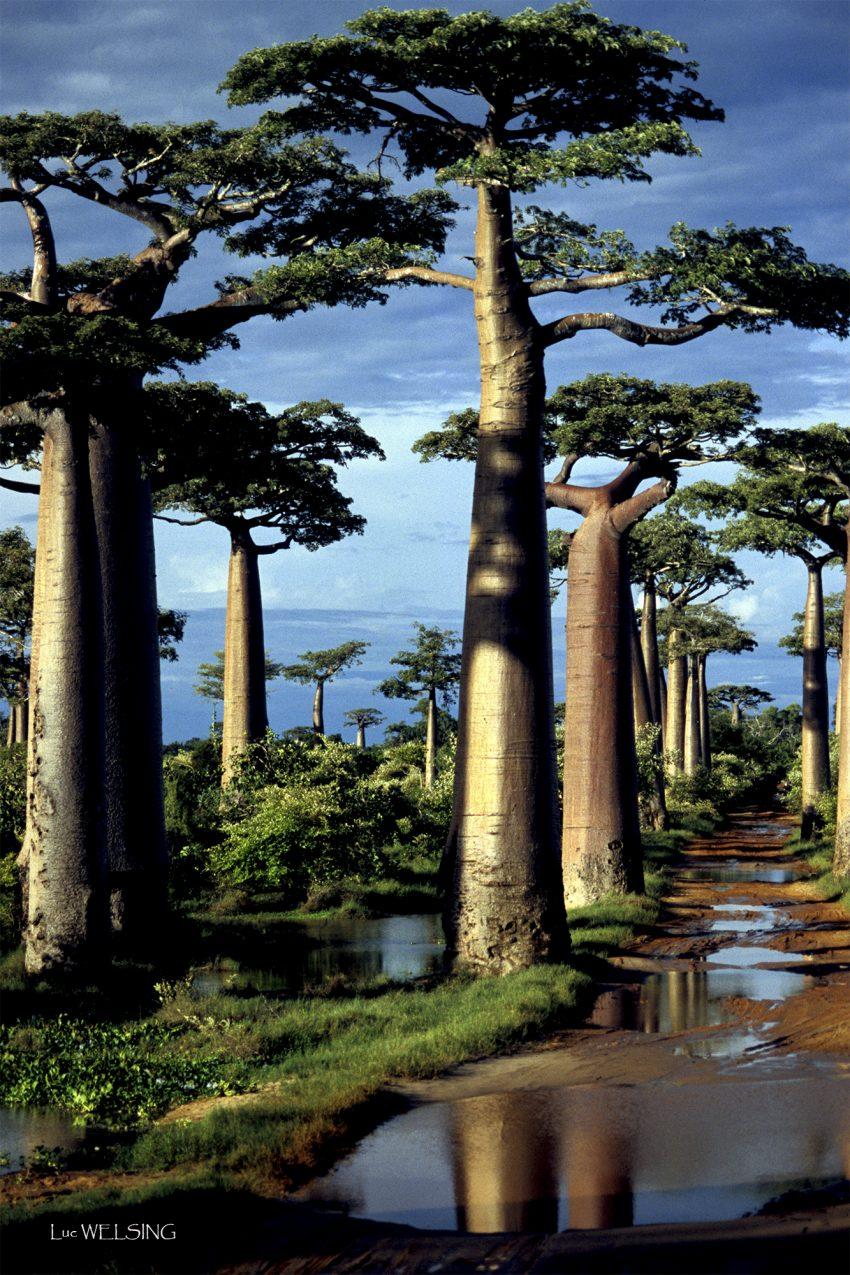 Allée des Baobabs, classée au patrimoine de l'UNESCO et..; menaçée de disparition en raison du manque d'eau qui est captée par les rizières. Madagascar, 2005