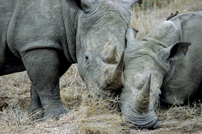 """2 rhinos """"blancs"""" qui ne sont pas blancs mais ont une bouche large (wide, erreur de traduction initiale, les a fait appeler blancs par rapport aux noirs qui ne sont pas noirs mais ont une petite bouche), et 2 inséparables, Afrique du Sud"""
