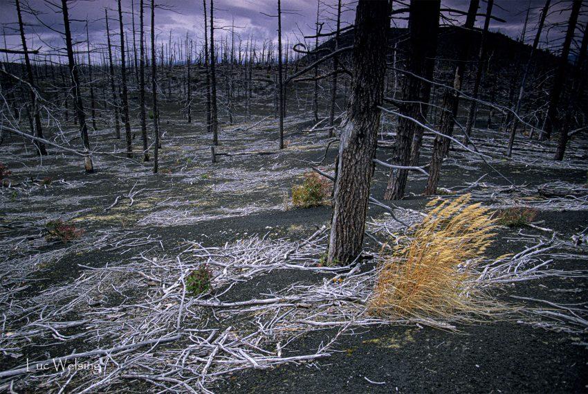 renaissance végétale après l'éruption, qui dura 1 an,  du Tolbatchik en 1975,Kamtchatka, Russie, 2003